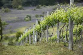 grapes trellis