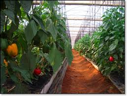 green house vegetables