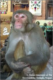 breeding monkeys