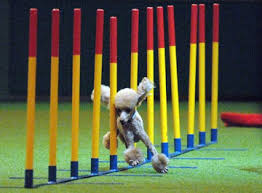 agility for dogs
