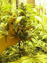 placard cannabis