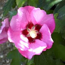 hibiscus syriacus pink giant