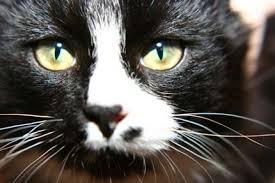 cat cataracts