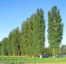 poplars trees