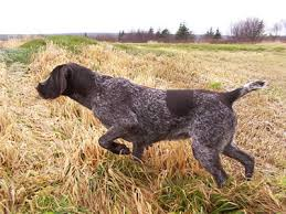hunting dog pictures