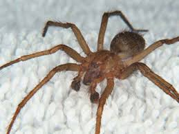 hobo spider photos