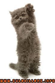 kitten persians
