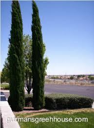 cypress evergreen tree