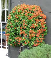 pyracantha picture