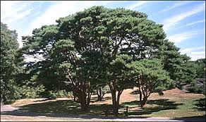 japanese evergreen tree