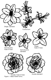 azalea varieties
