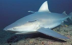 baby bull sharks