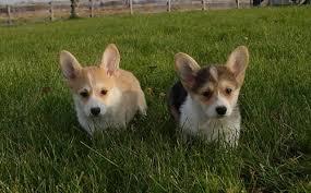corgi puppies pictures
