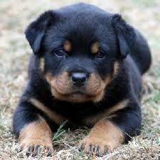 pics of puppies for sale