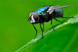http://t0.gstatic.com/images?q=tbn:P0lww_vUGkivFM:http://www.bioutifoul-photos.net/var/bp/storage/images/photos/macro-mouche-insecte/990-1-fre-FR/macro-mouche-insecte_billet.jpg