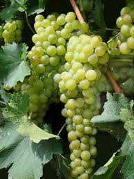pictures of green grapes