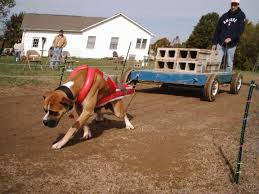 dog pull