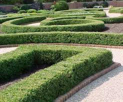 buxus hedging