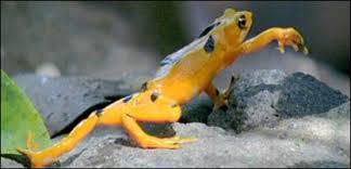 extinct frog
