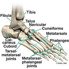 foot anatomy pictures