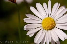 daisy flower pictures