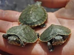 pet water turtles