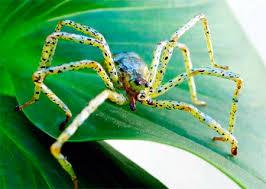 green garden spider