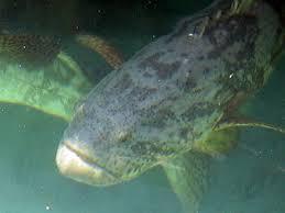mero pez