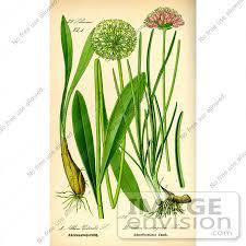 onions plants
