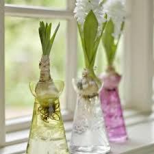 hyacinths bulbs
