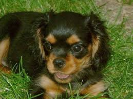 king charles cavalier pup