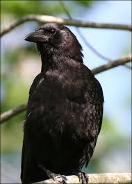 crow the bird