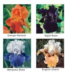 beardless iris