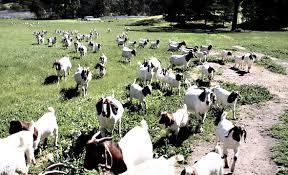 breeding goat