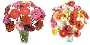 mini gerbera daisies