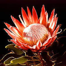 south african flower