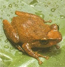puerto rico coqui frogs