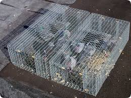 pigeon trapping