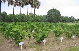 jatropha curcas plantations