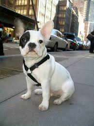 french bulldog breeds