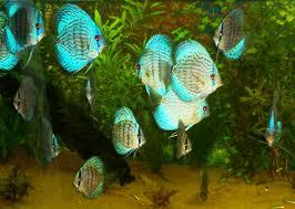 discus fish aquariums