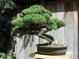bonsai pine trees