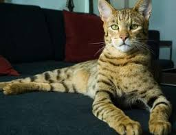 best cat breed