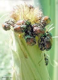 corn beetle