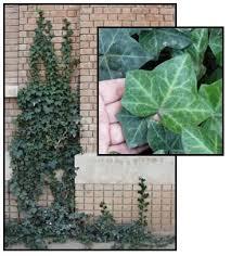 Hedera canariensis /