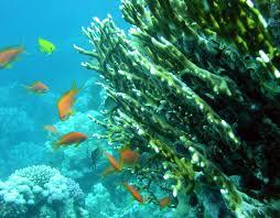 millepora coral