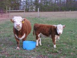 miniature hereford cows