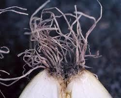 onion rot