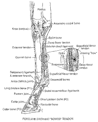 bow tendon
