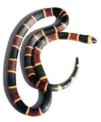 coral snake photo